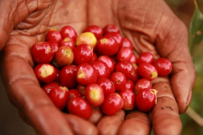 Recoleccion de cerezas de cafe en su estado optimo de maduracion que garantizan una excelente calidad